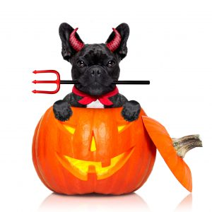 halloween pumpkin witch french bulldog dog inside a pumpkin dressed as a bad devil isolated on white background